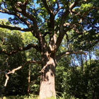 english oak tree thumbnail